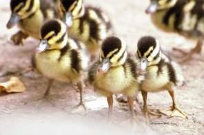 Black Bellied Whistling Ducklings