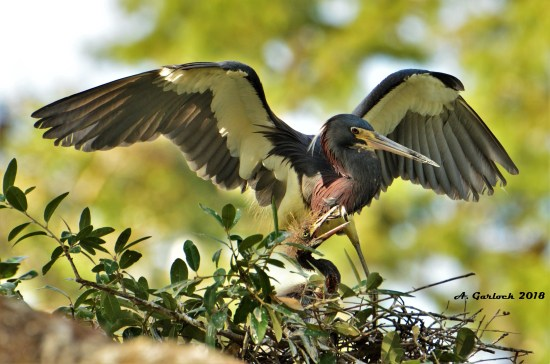 Tricolored Heron with Chick That Was Lost