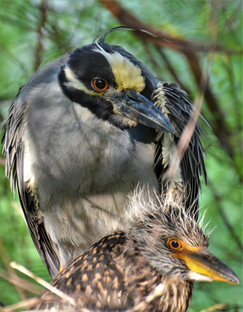 Yellow Crowned Night Heron with Chick