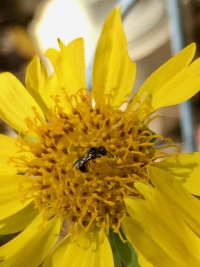 Small Carpenter Bee. Image: Mobi Warren