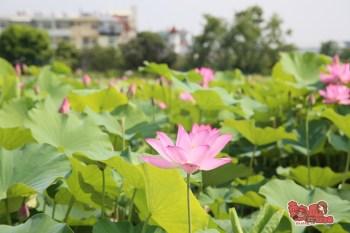 【台南景點】新化蓮花海小秘境!不用跑白河就可以擁有的夏日粉色風景~