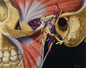 FIGURE 2. This illustration shows a dissection of the temporomandibular joint. The muscle tissue appears in gray and red, the veins in blue, the arteries in red, and the nerves are depicted in yellow.