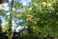 Hucklberries