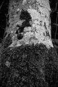 lichen-covered-alder-trees-eight
