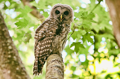 barred-owl-whidbey-island-july-17-2016-laughing