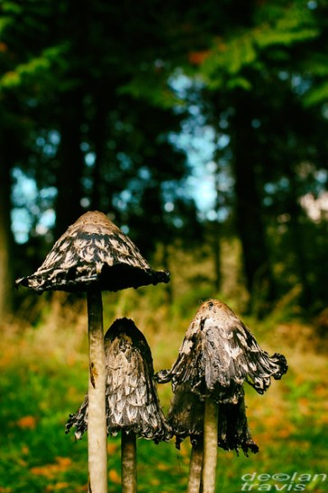 mushrooms-ink-caps-grass-vertical-fall