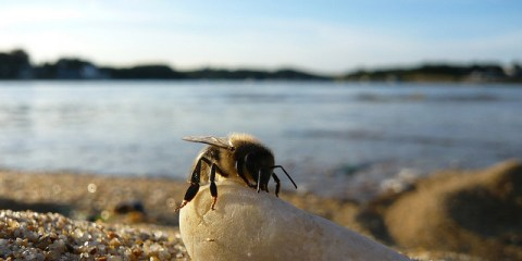 abeille à la plage