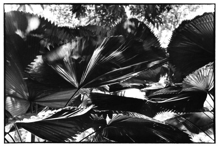 Feuille de palmier, Indonésie, clichés noir et blanc argentique, Jean-Pierre Devals
