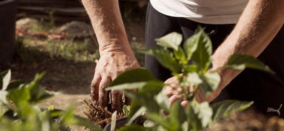 Szczepionki mikoryzowe - czym są i jak stosować je w ogrodnictwie?