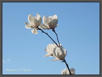 Magnolia (640x480)