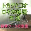 二ホントカゲの餌のコオロギが子供を作ったので飼育ケースの模様替え