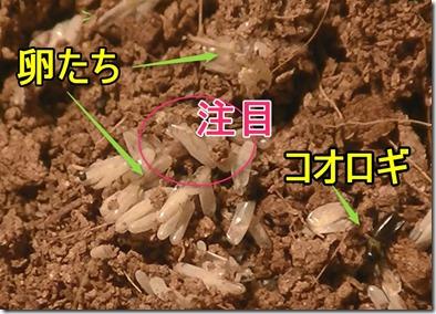 1コオロギ卵の状態