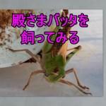 トノサマバッタを飼ってみたカッコイイ昆虫の王様を多摩川で捕まえた