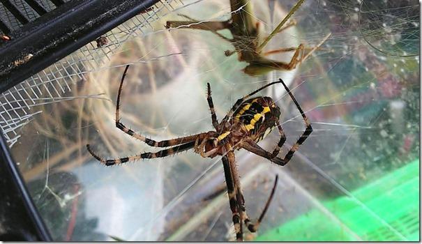 ナガコガネグモがバッタを捕獲