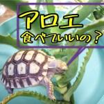 リクガメの餌にアロエは大丈夫かイグアナなどの草食性の爬虫類ヤブガラシとともに気になるシュウ酸カルシウム