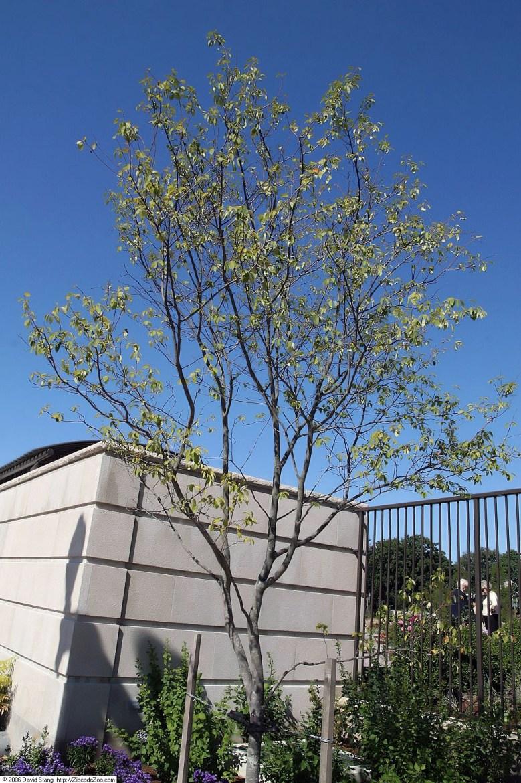 Amélanchier planter un arbre