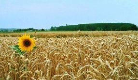 The Beauty of Golden Fields of Slavonija Province ... Photo taken from ... https://nl.pinterest.com/pin/575897871072096116/?lp=true