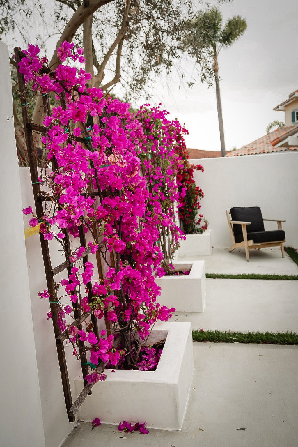 backyard bougainvillea garden