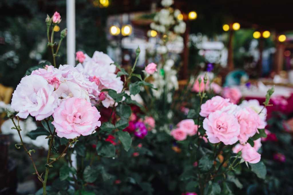 beautiful rose garden ideas minimalist house
