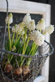 White grape hyacinths in metal basket