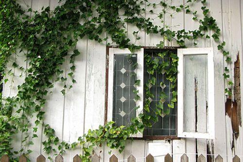 decoralinks | plantas trepadoras - hedera helix