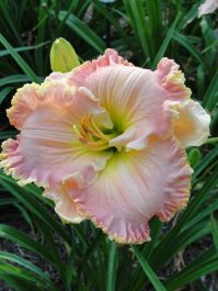 Daylily Garden 100