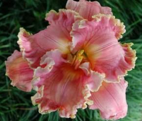 Daylily Garden 21