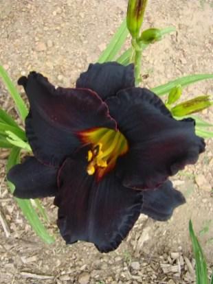 Daylily Garden 22