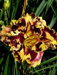 Daylily Garden 43