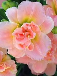Daylily Garden 44