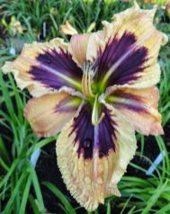 Daylily Garden 53