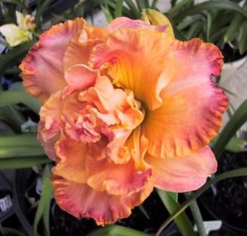 Daylily Garden 57