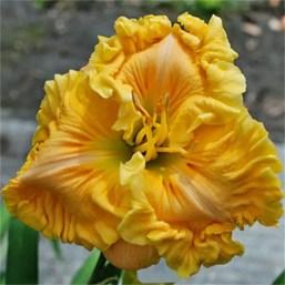 Daylily Garden 65