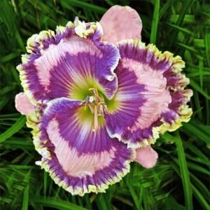 Daylily Garden 72
