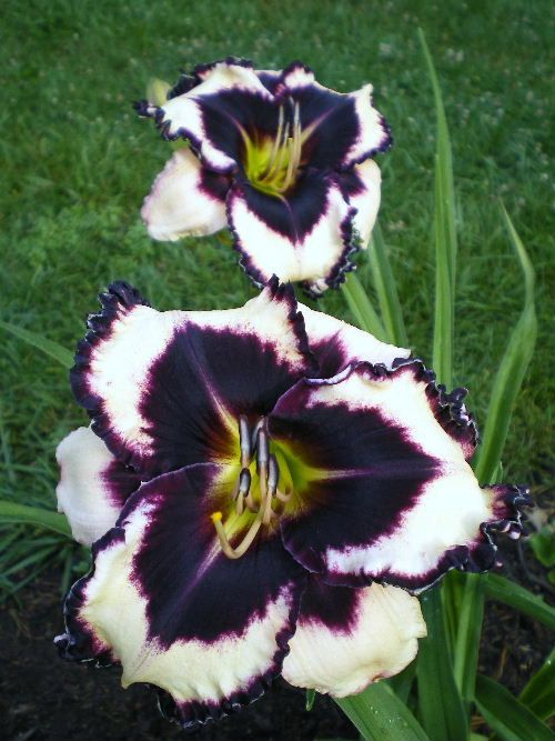 Daylily Garden 87