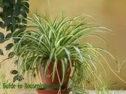 Spider Plant Care 10