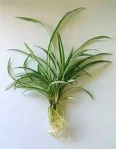 Spider Plant Care 4