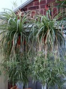 Spider Plant Care 6