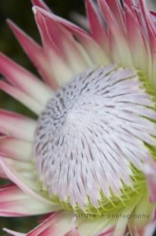 Protea Flower 1
