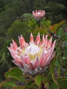 Protea Flower 11