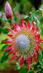 Protea Flower 19