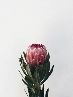 Protea Flower 24