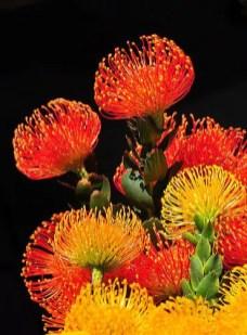 Protea Flower 27