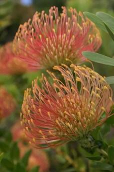 Protea Flower 29