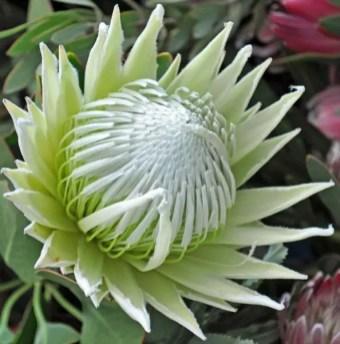 Protea Flower 31
