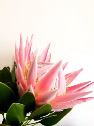 Protea Flower 34