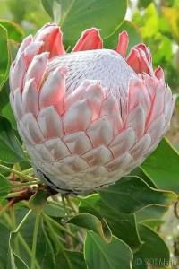 Protea Flower 35