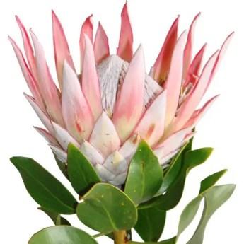 Protea Flower 38