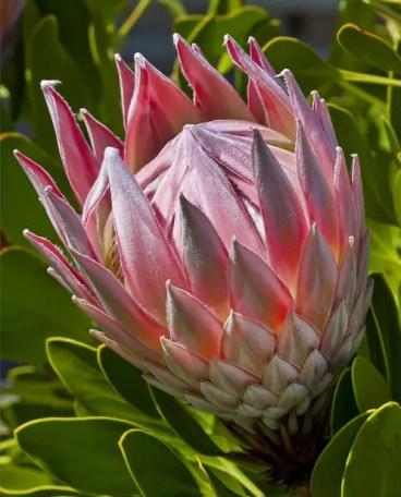 Protea Flower 8
