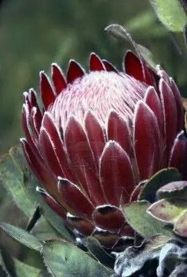 Protea Flower 9